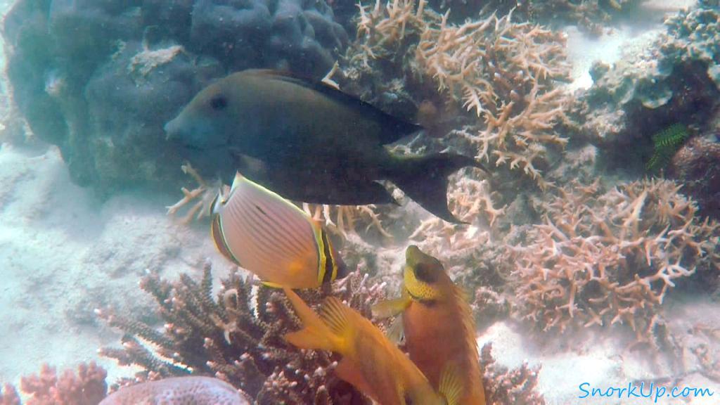 В центре рыба-бабочка Chaetodon lunulatus. В Красном море встречается похожий вид Chaetodon austriacus